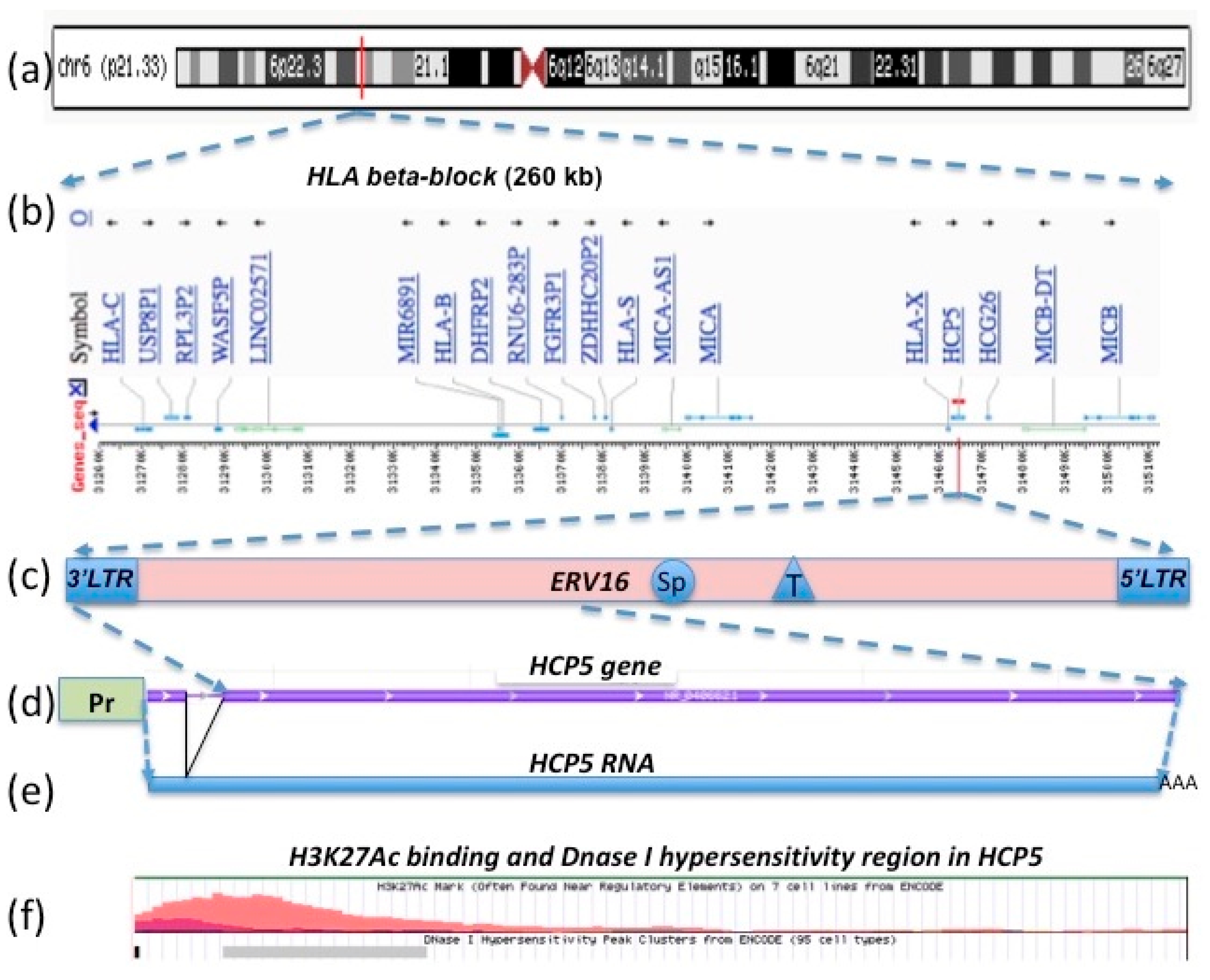 Figure 1. Location of the HCP5 gene (d) within the ERV16 element (c) and the human leukocyte antigen (HLA) class I region of the beta-block (b) on chromosome 6 at 6p21.33 (a). The HLA class I promoter region (the green rectangle labeled as Pr) for the 2630 bp HCP5 gene (d) initiates transcription of the 2547 bp lnc HCP5 RNA (e). The 91 bp intron in the HCP5 gene is represented by the thin grey line between the violet rectangular lines (d). The AluSp, THE1B, and LTR162B insertions within the 6173 bp ERV16 sequence [30] (c) are indicated by the labeled circle, triangle, and rectangles, respectively (see Table 1 for more details). The H3K27Ac binding (orange curve) and Dnase I hypersensitivity region (grey horizontal rectangle) associated with the HCP5 gene sequence (d) and sourced from the University of California, Santa Cruz (UCSC) genomic browser (Table S1) are shown on line (f).