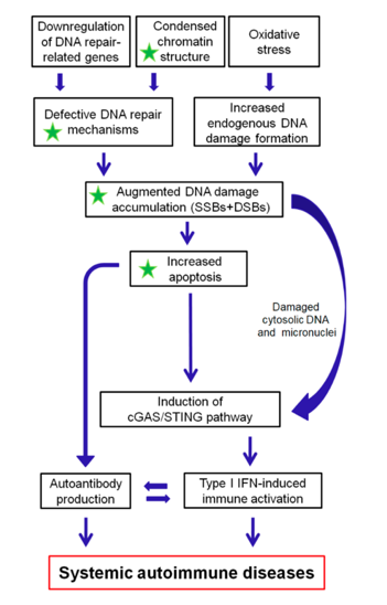A proposed model of systemic autoimmune disease promotion by epigenetically regulated functional abnormalities of the DNA damage response and repair (DDR/R) network and oxidative stress. The green asterisk denotes partial reversibility following histone hyperacetylation. SSBs: single-strand breaks, DSBs: double-strand breaks
