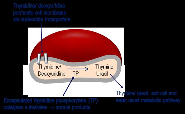 . Mechanism of erythrocyte encapsulated thymidine phosphorylase (EE-TP) action