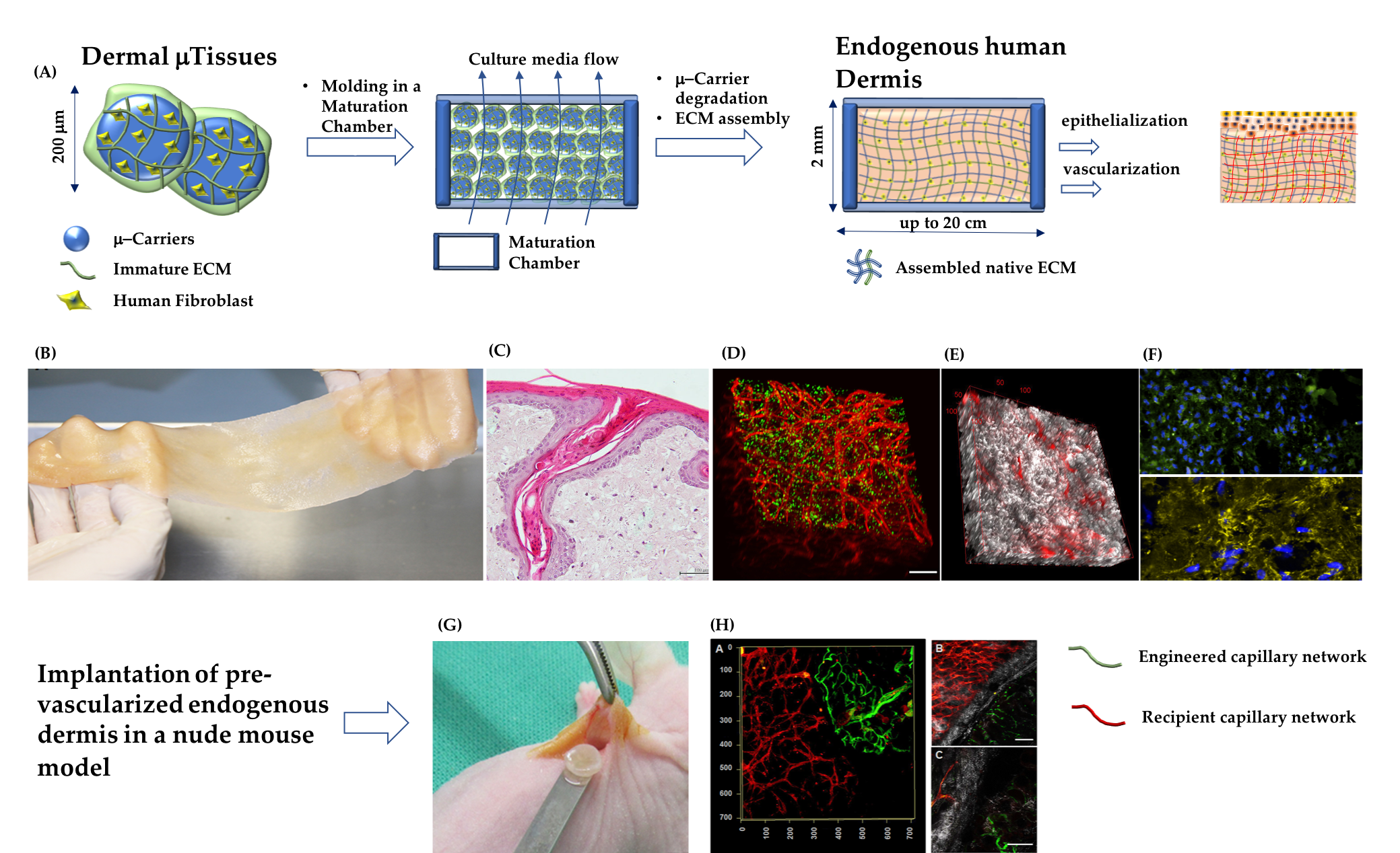 """The main steps for the production of a DRT composed of fibroblast-assembled/prevascularized human dermis substitutes, and its morphological features before and after implantation in a nude mice model. (A) From left to right: production of Dermal-Tissues; their molding and assembly in a maturation chamber that is kept under dynamic culture conditions; formation of a continuum of fibroblasts embedded in their own dermal extracellular matrix; epithelization and vascularization of the endogenous human dermis. (B) Fabrication of large pieces of endogenous human dermis (major dimension 20 cm). (C) Histology of the endogenous human dermis supporting the differentiation of epidermis with the formation of spontaneous rete ridge profile. (D) Vascularized endogenous human dermis: cell nuclei in green and capillary network in red. (E) Vascularized endogenous human dermis: fibroblast-assembled collagen bundles observed under label-free multiphoton microscopy in gray; capillary network in red. (F) Top: fibroblast-assembled hyaluronic acid in green, cell nuclei in blue; Bottom: fibroblast-assembled elastin network in yellow, cell nuclei in blue. (G) Implantation of a piece of the pre-vascularized endogenous human dermis. (H) Connection between engineered capillary network (green) and recipient capillary network (red); fibroblast-assembled collagen in gray. Figure 3B, 3D, 3E, 3G, and 3H are from reference [34] """"Mazio, C. et al. Pre-vascularized dermis model for fast and functional anastomosis with host vasculature. Biomat. 192, 159–170 (2019)"""". Authors obtained permision from Elsevier: License Number 4681910194044."""
